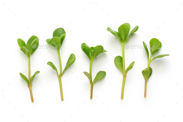 fresh purslane, edible weeds - Stock Photo - Images
