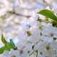 Cherry Flowers - VideoHive Item for Sale
