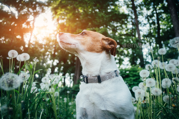 Jack russel terrier on dandelions meadow - Stock Photo - Images