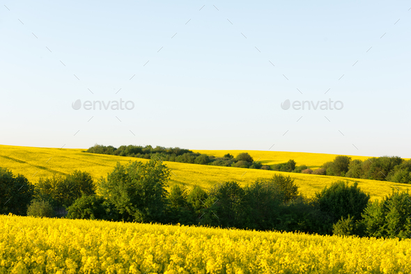 Yellow rape field on blue sky background - Stock Photo - Images