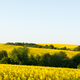 Yellow rape field on blue sky background - PhotoDune Item for Sale