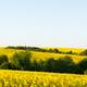 Yellow rape field on blue sky background - PhotoDune Item for Sale
