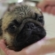 Washing a Pug Dog in the Bathroom - VideoHive Item for Sale