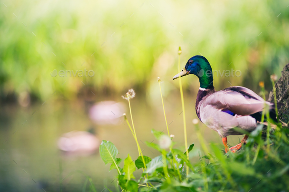 Male Mallard Duck at The Pond, Looking at Ducks - Stock Photo - Images
