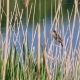 Acrocephalus Scirpaceus Bird Sing on Bulrush - VideoHive Item for Sale