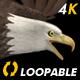 Two Bald Eagles - Flying Around - Transparent Loop - 4K - 25