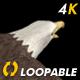 Two Bald Eagles - Flying Around - Transparent Loop - 4K - 27