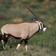 Gemsbok antelope in natural habitat - PhotoDune Item for Sale