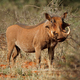 Warthog in natural habitat - PhotoDune Item for Sale