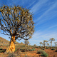 Quiver tree landscape - PhotoDune Item for Sale