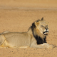 African lion - Kalahari desert - PhotoDune Item for Sale