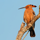 African hoopoe on a branch - PhotoDune Item for Sale