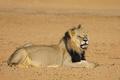 African lion - Kalahari desert - PhotoDune Item for Sale