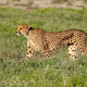 Alert cheetah on the hunt - PhotoDune Item for Sale