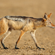 Black-backed jackal in natural habitat - PhotoDune Item for Sale