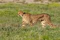 Alert cheetah on the hunt - PhotoDune Item for Sale
