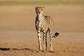 Alert cheetah - Kalahari desert - PhotoDune Item for Sale