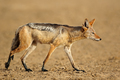 Black-backed jackal in natural habitat - PhotoDune Item for Sale