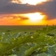 Field of Green Big Leaves and Colorful Sunset - VideoHive Item for Sale
