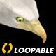 Two Bald Eagles - Flying Around - Transparent Loop - 4K - 18