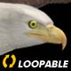 Two Bald Eagles - Flying Around - Transparent Loop - 4K - 15