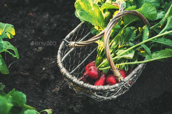 Fresh Radishes   - Stock Photo - Images