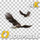 Two Bald Eagles - Flying Around - Transparent Loop - 4K - 34