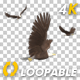Three Bald Eagles - Flying Around - Transparent Loop - 4K - VideoHive Item for Sale