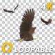 Two Bald Eagles - Flying Around - Transparent Loop - 4K - 35