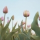 Tender Tulips Against the Blue Sky - VideoHive Item for Sale