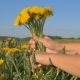 Women Hands Collect In The Flowering Field Bouquet Of Yellow Dandelions - VideoHive Item for Sale