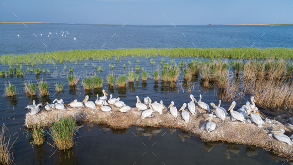 dalmatian pelicans (pelecanus crispus) in Danube Delta Romania - Stock Photo - Images
