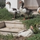 Homemade Geese Are Walking on Grass - VideoHive Item for Sale