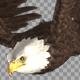 Two Bald Eagles - Flying Around - Transparent Loop - 4K - 20