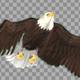 Two Bald Eagles - Flying Around - Transparent Loop - 4K - 21