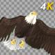 Two Bald Eagles - Flying Around - Transparent Loop - 4K - 29