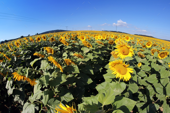 Sunflower field with blue sky - Stock Photo - Images