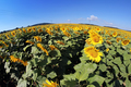 Sunflower field with blue sky - PhotoDune Item for Sale