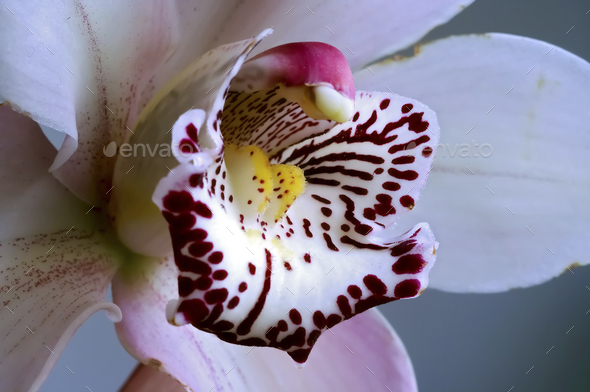 Bloom of Orchid - Stock Photo - Images