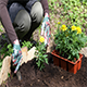 Woman Digs Soil And Puts Marigolds Flowers