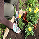 Woman Or Gardener Hands Planting  Yellow Marigolds Flowers