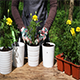 Planting Yellow Marigolds To Flower Pots