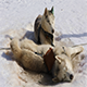 Sled Husky Lying on The Snow