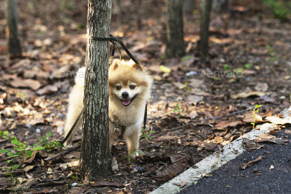 Pomeranian waiting for his owner - Stock Photo - Images