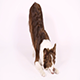 """Border Collie Dog Performs The Command """"Bow"""" - VideoHive Item for Sale"""