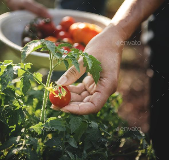 Farmer picking a fresh tomato - Stock Photo - Images