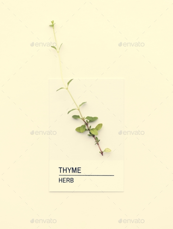Thyme herb - Stock Photo - Images