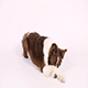 Purebred Border Collie Dog Lying on White Background - VideoHive Item for Sale
