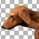 Dachshund Walk - VideoHive Item for Sale