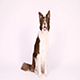 "Border Collie Dog Executes The Command ""Turn Around"" - VideoHive Item for Sale"